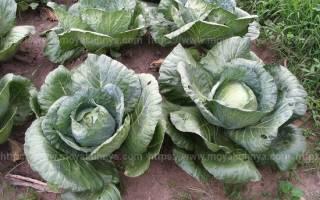 Как правильно хранить свежую капусту в холодильнике и погребе