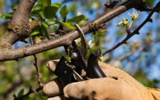 Обрезка вишни: когда и как правильно ее делать: пошаговые схемы, фото