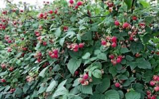 Обрезка ремонтантной малины осенью, весной и летом: советы