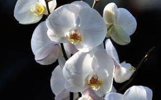 Как ухаживать за орхидеей – капризной королевой домашних цветов