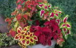 Фиттония: уход в домашних условиях, цветение