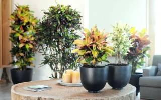 Кротон: выращивание и уход в домашних условиях